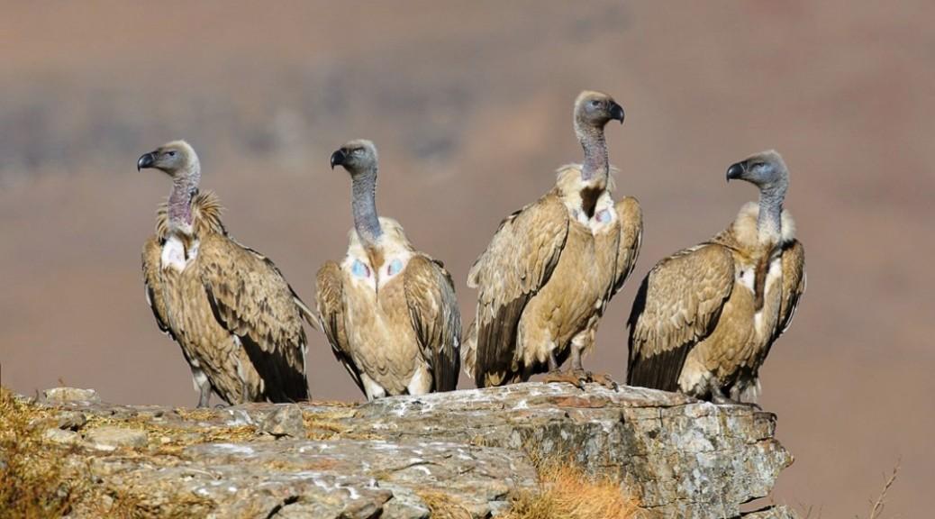 Cape Vultures Perched