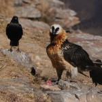 Bearded Vulture Feeding