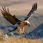 Adult Bearded Vulture landing