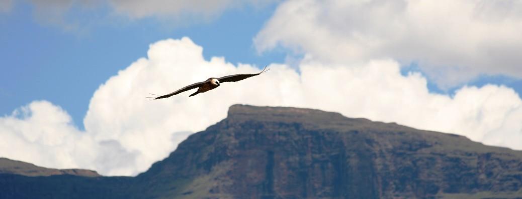 Bearded Vulture in Flight Giants Castle