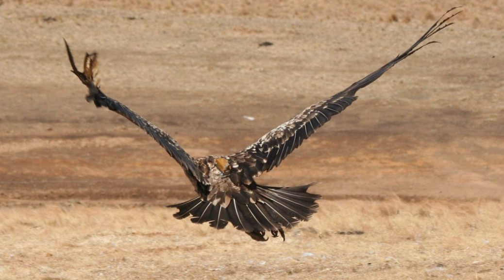 Bearded Vulture with Satellite Transmittor in Place © Shannon Hoffman