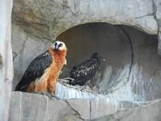 Captive Bearded Vultures