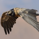 Juvenile Bearded Vulture