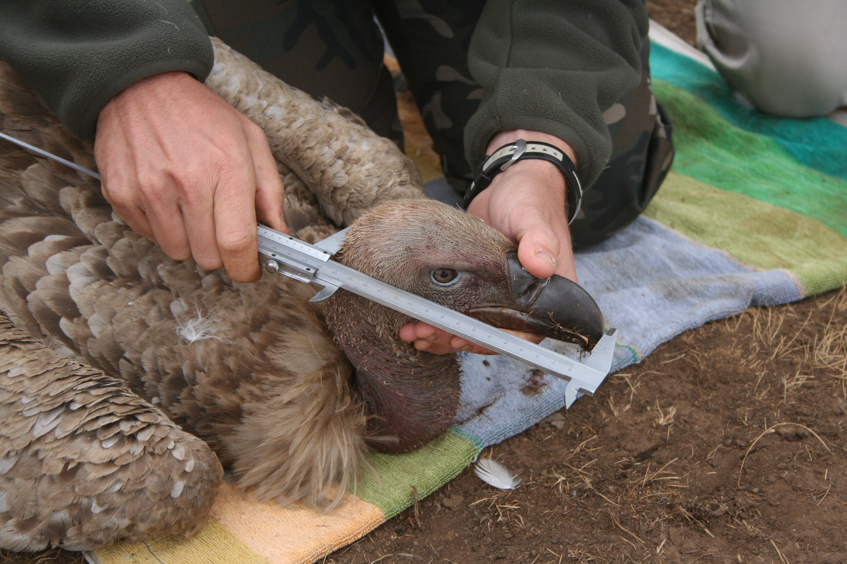 Research on Cape Vulture