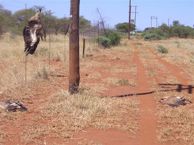 Vulture electrocution in Makopane