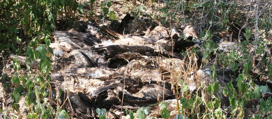 Vultures Killed in Mass Poisoning