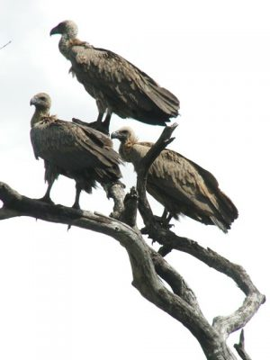 white-backed-vultures