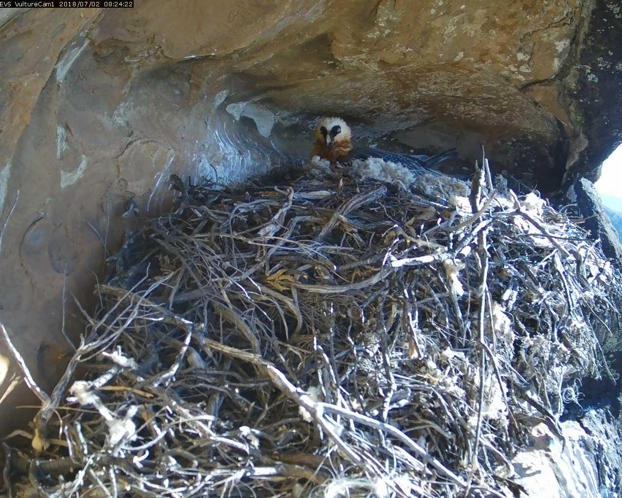 Bearded Vulture Nest Camera