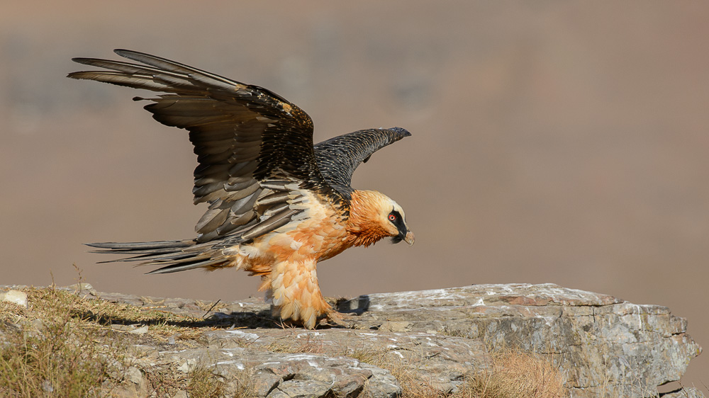 Adult Bearded Vulture Perched