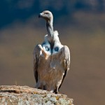 Cape Vulture Perched