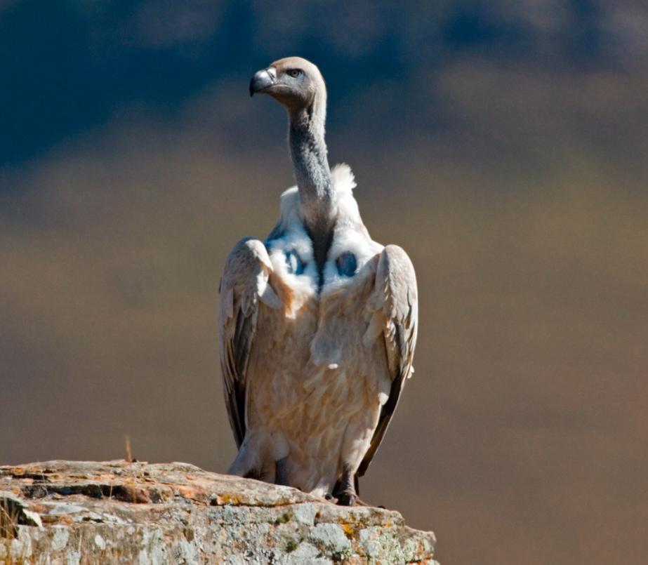 Cape Vulture Perched