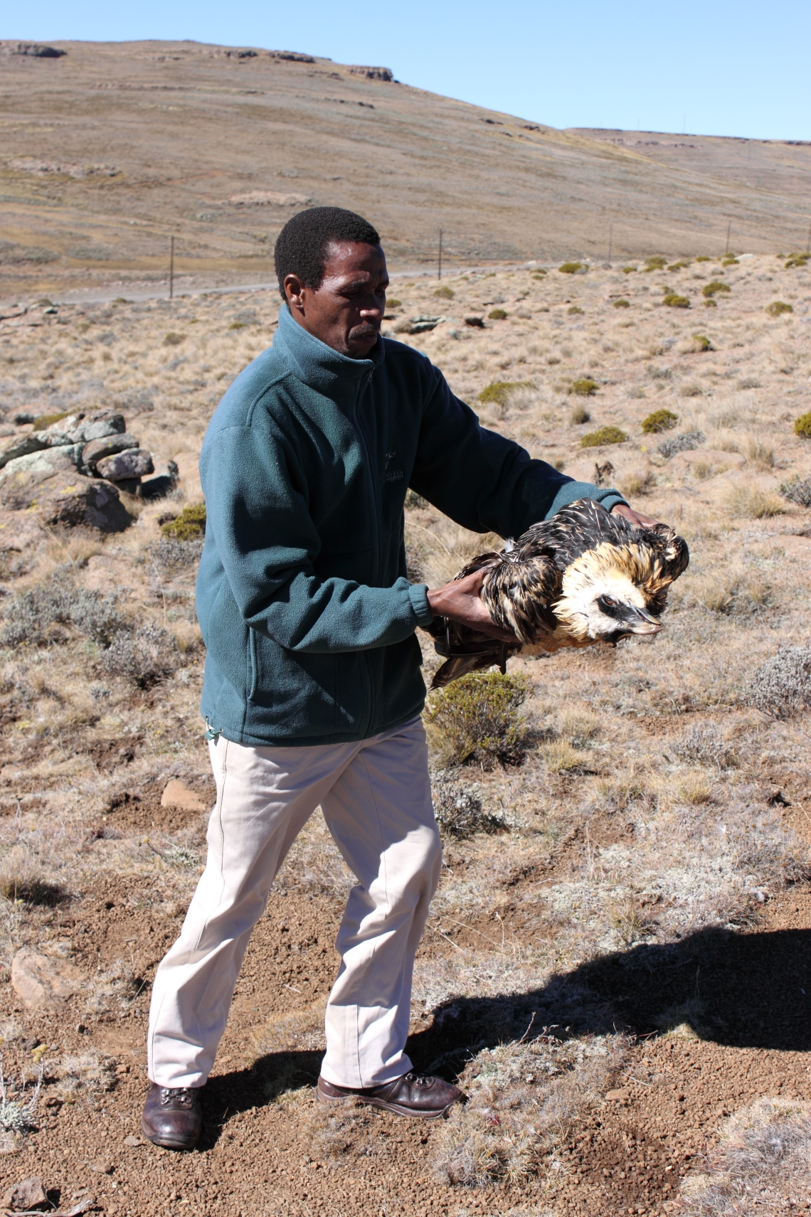 Retrieval of a Bearded Vulture carcass