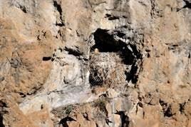 Bearded Vulture on nest