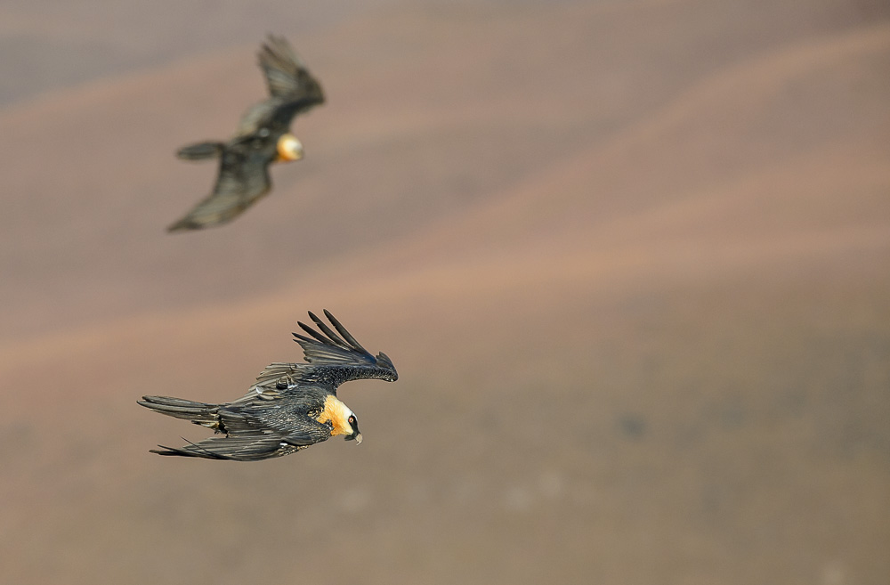 Bearded Vultures