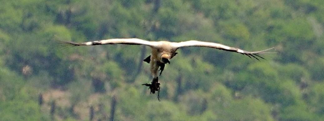 Cape Vulture Caught in a Gin Trap