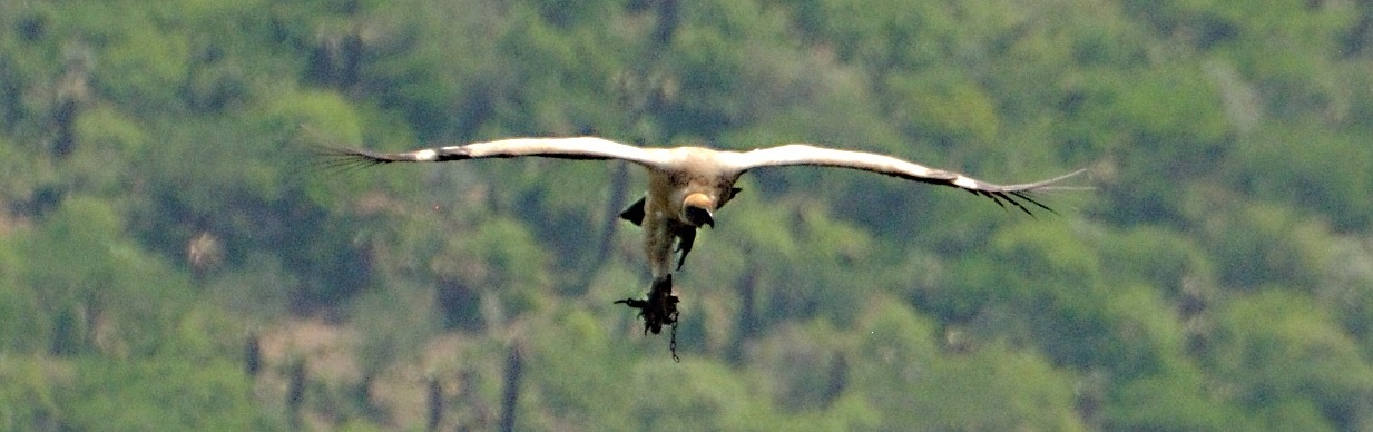 Cape Vulture Caught in a Gin Trap