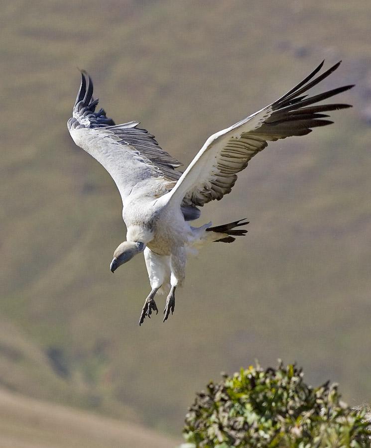 Cape Vulture landing