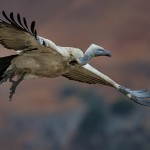 Cape Vulture lift off