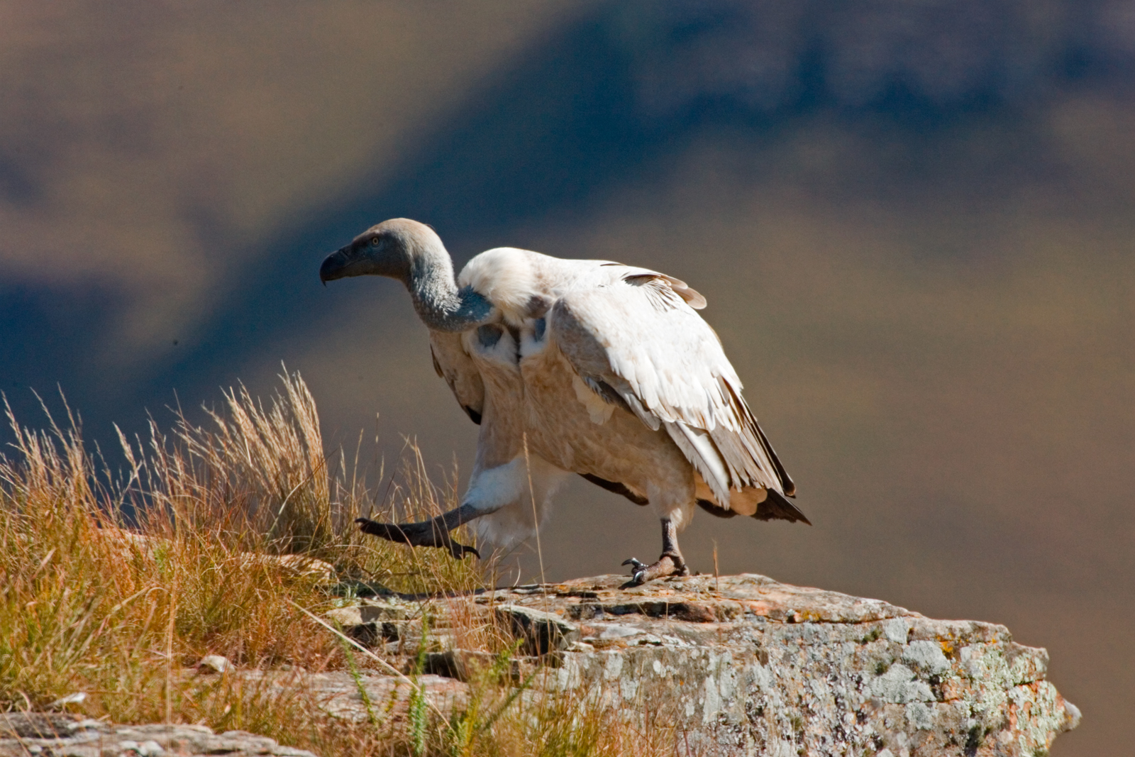 Cape Vulture Walking