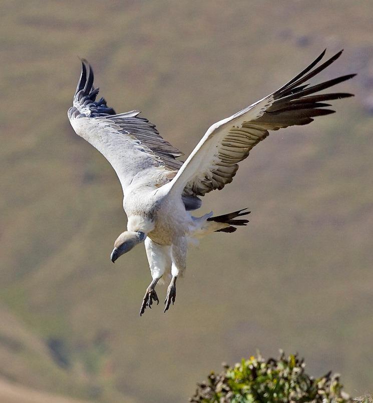 Adult Cape Vulture
