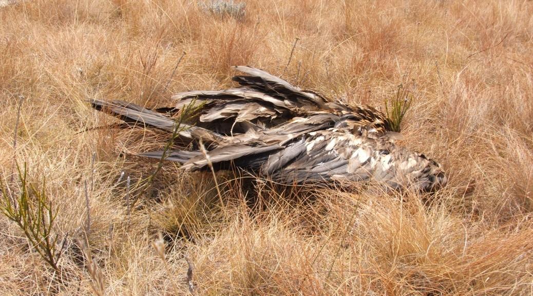 Dead juvenile Bearded Vulture