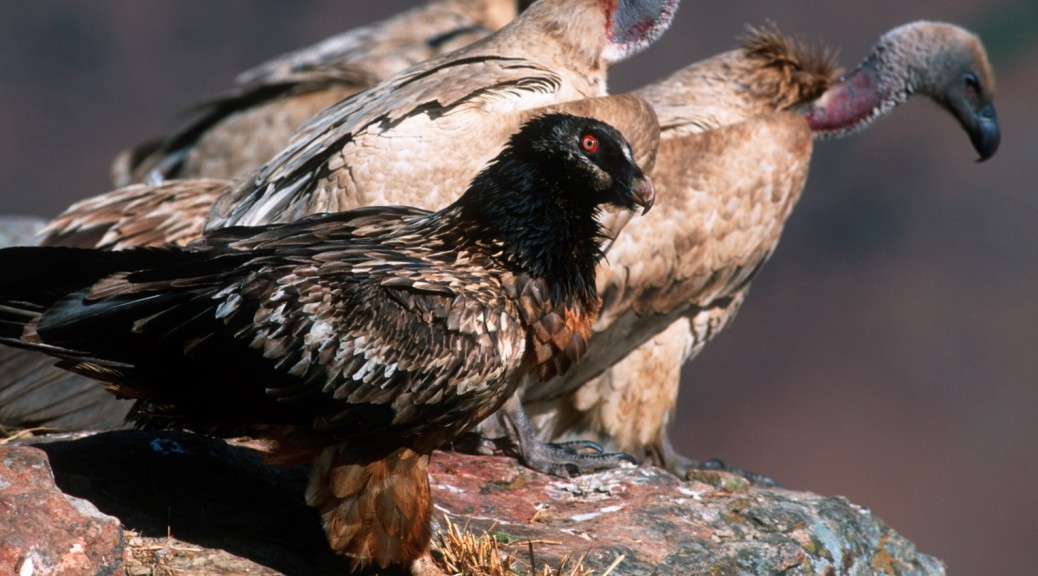 Juvenile Bearded Vulture and Cape Vultures