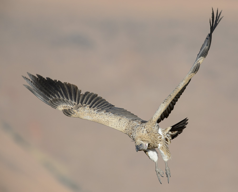 Juvenile Cape Vulture