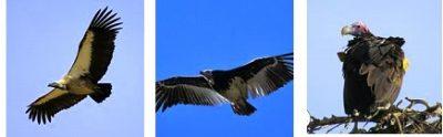 zululand-vultures