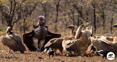 zululand-vultures-2