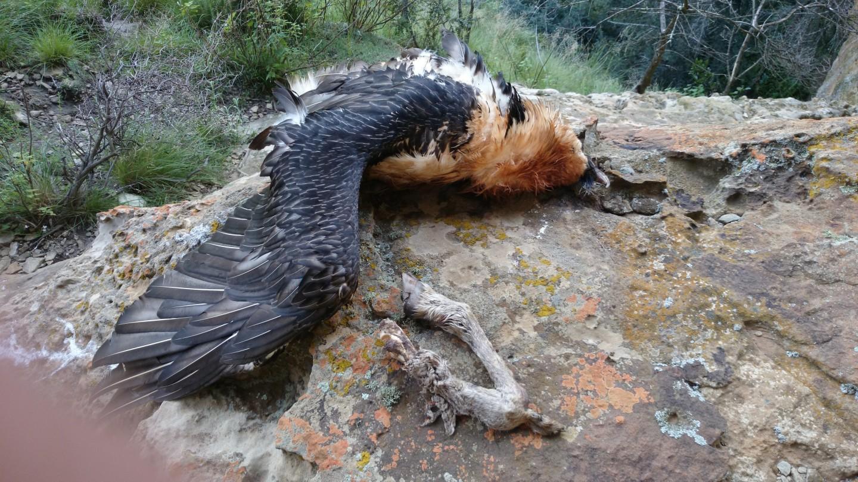 LEFUMA latest bearded Vulture victim of poisoning