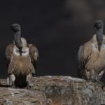 Cape Vultures
